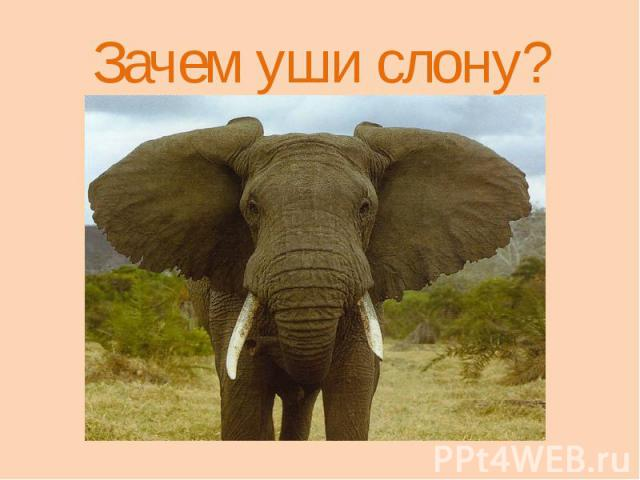 Зачем уши слону?