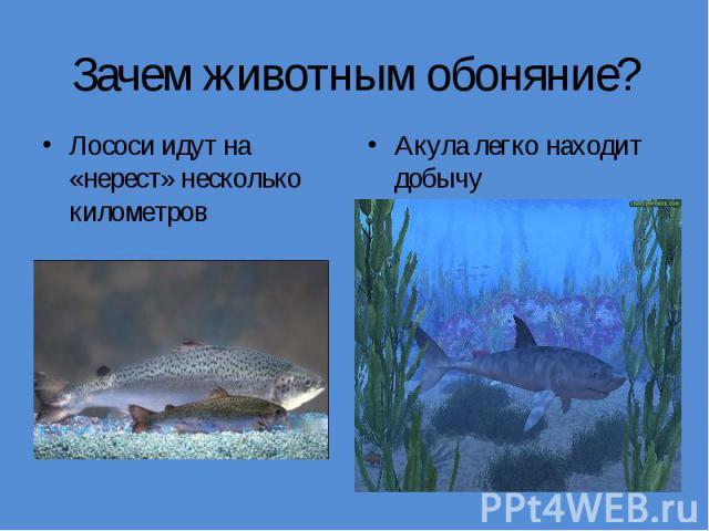 Зачем животным обоняние?Лососи идут на «нерест» несколько километров Акула легко находит добычу