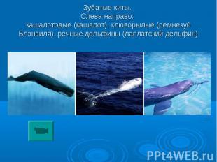 Зубатые киты. Слева направо: кашалотовые (кашалот), клюворылые (ремнезуб Блэнвил
