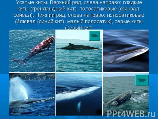 Усатые киты. Верхний ряд, слева направо: гладкие киты (гренландский кит), полосатиковые (финвал, сейвал). Нижний ряд, слева направо: полосатиковые (блювал (синий кит), малый полосатик), серые киты (серый кит)