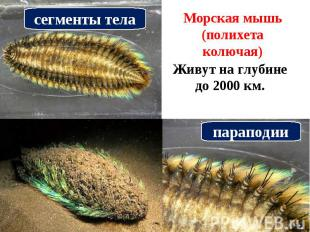 сегменты телаМорская мышь (полихета колючая) Живут на глубине до 2000 км. парапо