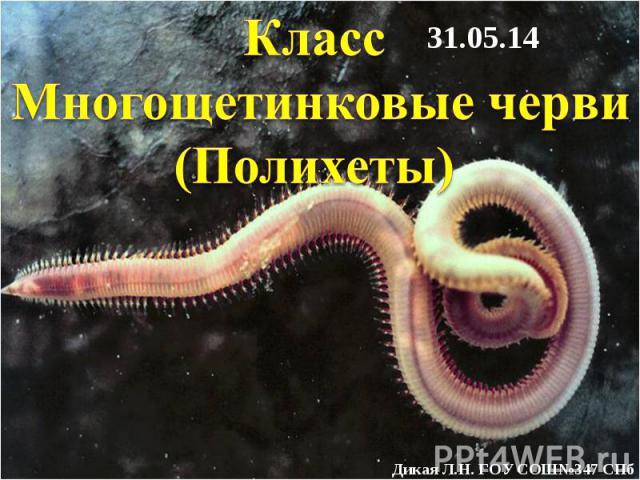 Класс Многощетинковые черви (Полихеты)