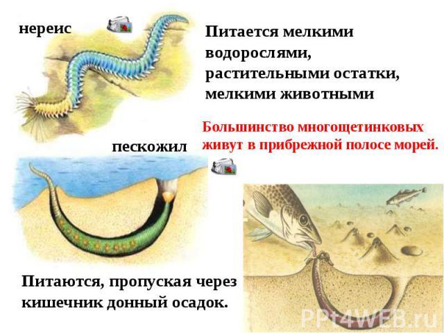 Питается мелкими водорослями, растительными остатки, мелкими животными Большинство многощетинковых живут в прибрежной полосе морей. Питаются, пропуская через кишечник донный осадок.