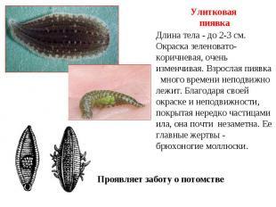 Улитковая пиявка Длина тела - до 2-3 см. Окраска зеленовато-коричневая, очень из