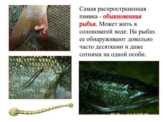 Самая распространенная пиявка- обыкновенная рыбья. Может жить в солоноватой воде. Нарыбах ееобнаруживают довольно часто десятками идаже сотнями наодной особи.