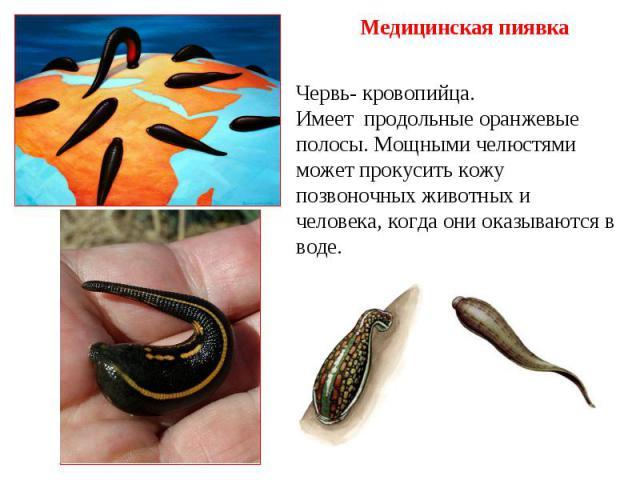 Медицинская пиявка Червь- кровопийца. Имеет продольные оранжевые полосы. Мощными челюстями может прокусить кожу позвоночных животных и человека, когда они оказываются в воде.