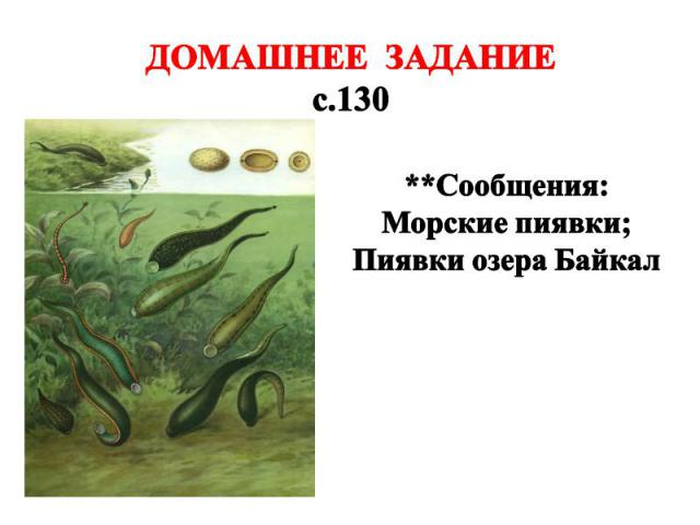 ДОМАШНЕЕ ЗАДАНИЕ с.130 **Сообщения: Морские пиявки; Пиявки озера Байкал