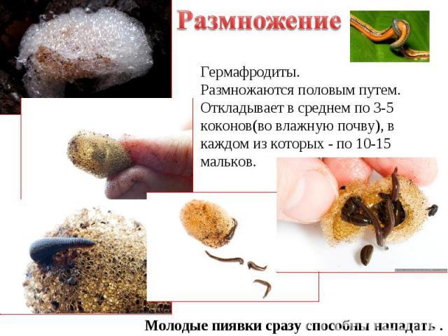 Размножение Гермафродиты. Размножаются половым путем. Откладывает в среднем по 3-5 коконов(во влажную почву), в каждом из которых - по 10-15 мальков. Молодые пиявки сразу способны нападать .