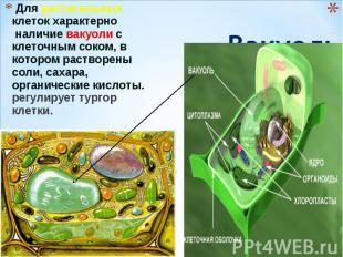 Для растительных клеток характерно наличие вакуоли с клеточным соком, в котором