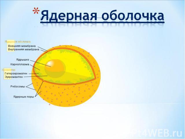Ядерная оболочка
