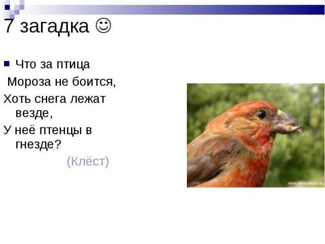 7 загадка Что за птица Мороза не боится, Хоть снега лежат везде, У неё птенцы в гнезде? (Клёст)