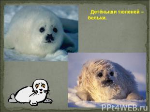 Детёныши тюленей – бельки.