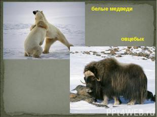 белые медведи овцебык