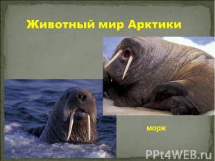 Животный мир Арктики морж