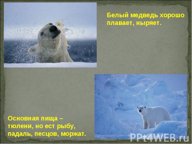 Белый медведь хорошо плавает, ныряет. Основная пища – тюлени, но ест рыбу, падаль, песцов, моржат.