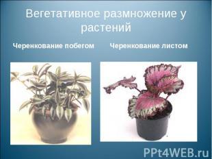 Вегетативное размножение у растенийЧеренкование побегом Черенкование листом