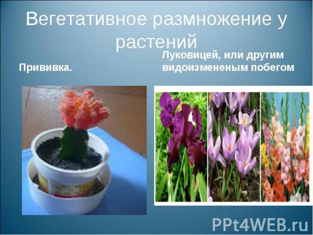 Вегетативное размножение у растенийПрививка. Луковицей, или другим видоизмененым побегом