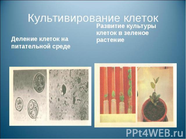 Культивирование клетокДеление клеток на питательной среде Развитие культуры клеток в зеленое растение