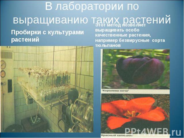 В лаборатории по выращиванию таких растенийПробирки с культурами растений Этот метод позволяет выращивать особо качественные растения, например безвирусные сорта тюльпанов