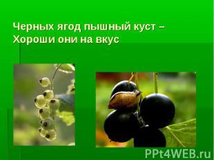 Черных ягод пышный куст – Хороши они на вкус