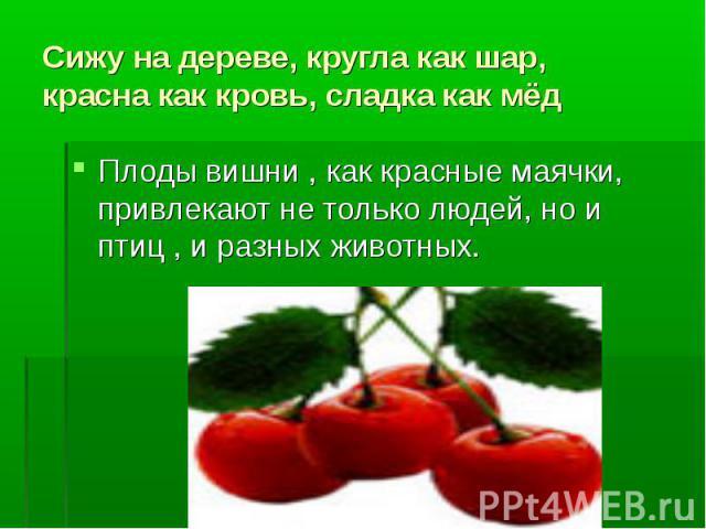 Сижу на дереве, кругла как шар, красна как кровь, сладка как мёдПлоды вишни , как красные маячки, привлекают не только людей, но и птиц , и разных животных.