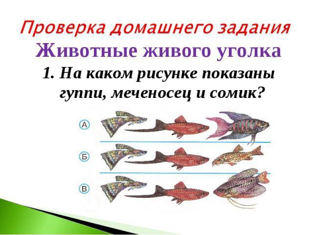 Проверка домашнего заданияЖивотные живого уголка 1. На каком рисунке показаны гуппи, меченосец и сомик?
