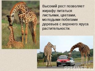 Высокий рост позволяет жирафу питаться листьями, цветами, молодыми побегами дере