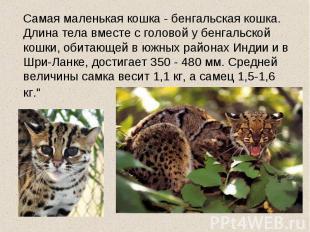 Самая маленькая кошка - бенгальская кошка. Длина тела вместе с головой у бенгаль