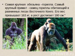 Самая крупная обезьяна –горилла. Самый крупный примат - самец гориллы обитающий