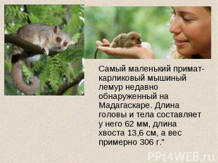 Самый маленький примат- карликовый мышиный лемур недавно обнаруженный на Мадагас