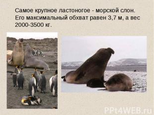 Самое крупное ластоногое - морской слон. Его максимальный обхват равен 3,7 м, а