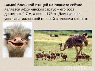 Самой большой птицей на планете сейчас является африканский страус – его рост до