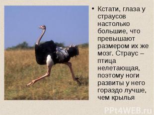 Кстати, глаза у страусов настолько большие, что превышают размером их же мозг. С