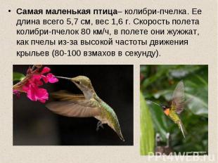 Самая маленькая птица– колибри-пчелка. Ее длина всего 5,7 см, вес 1,6 г. Скорост