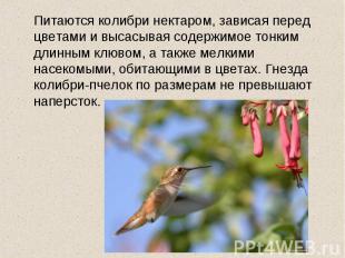 Питаются колибри нектаром, зависая перед цветами и высасывая содержимое тонким д
