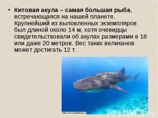 Китовая акула – самая большая рыба, встречающаяся на нашей планете. Крупнейший и