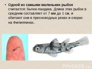 Одной из самыми маленьких рыбок считается: бычок-пандака. Длина этих рыбок в сре