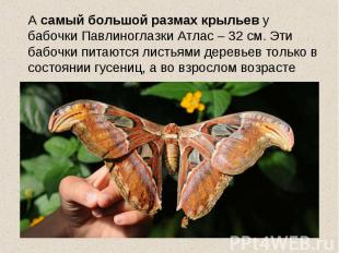 А самый большой размах крыльев у бабочки Павлиноглазки Атлас – 32 см. Эти бабочк