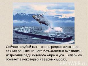 Сейчас голубой кит – очень редкое животное, так как раньше на него безжалостно о