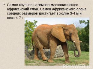 Самое крупное наземное млекопитающее - африканский слон. Самец африканского слон