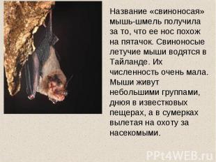 Название «свиноносая» мышь-шмель получила за то, что ее нос похож на пятачок. Св