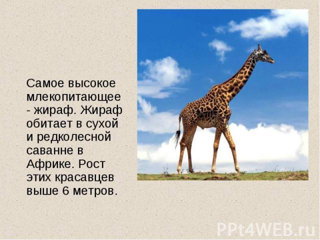 Самое высокое млекопитающее- жираф. Жираф обитает в сухой и редколесной саванне в Африке. Рост этих красавцев выше 6 метров.