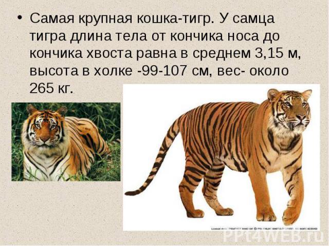 Самая крупная кошка-тигр. У самца тигра длина тела от кончика носа до кончика хвоста равна в среднем 3,15 м, высота в холке -99-107 см, вес- около 265 кг.
