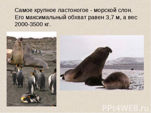 Самое крупное ластоногое - морской слон. Его максимальный обхват равен 3,7 м, а вес 2000-3500 кг.