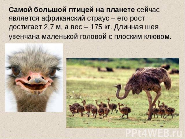 Самой большой птицей на планете сейчас является африканский страус – его рост достигает 2,7 м, а вес – 175 кг. Длинная шея увенчана маленькой головой с плоским клювом.