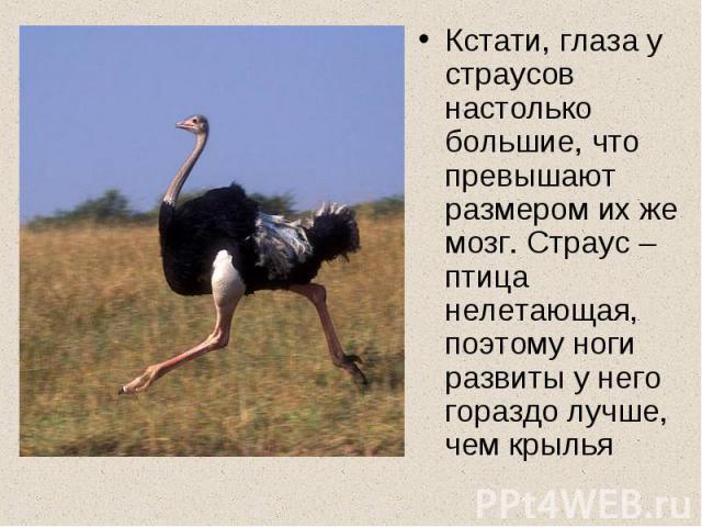 Кстати, глаза у страусов настолько большие, что превышают размером их же мозг. Страус – птица нелетающая, поэтому ноги развиты у него гораздо лучше, чем крылья