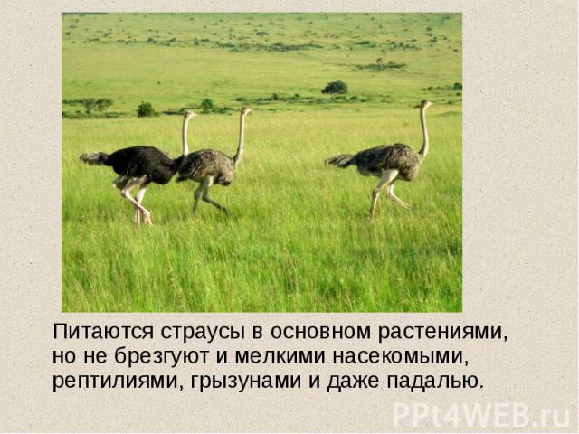 Питаются страусы в основном растениями, но не брезгуют и мелкими насекомыми, рептилиями, грызунами и даже падалью.