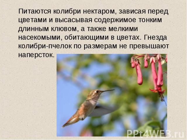 Питаются колибри нектаром, зависая перед цветами и высасывая содержимое тонким длинным клювом, а также мелкими насекомыми, обитающими в цветах. Гнезда колибри-пчелок по размерам не превышают наперсток.