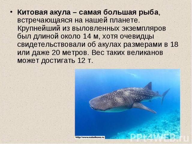 Китовая акула – самая большая рыба, встречающаяся на нашей планете. Крупнейший из выловленных экземпляров был длиной около 14 м, хотя очевидцы свидетельствовали об акулах размерами в 18 или даже 20 метров. Вес таких великанов может достигать 12 т.