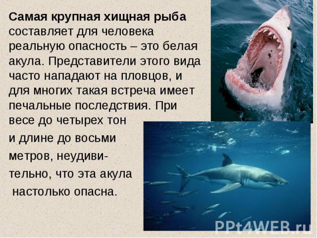 Самая крупная хищная рыба составляет для человека реальную опасность – это белая акула. Представители этого вида часто нападают на пловцов, и для многих такая встреча имеет печальные последствия. При весе до четырех тон и длине до восьми метров, неу…